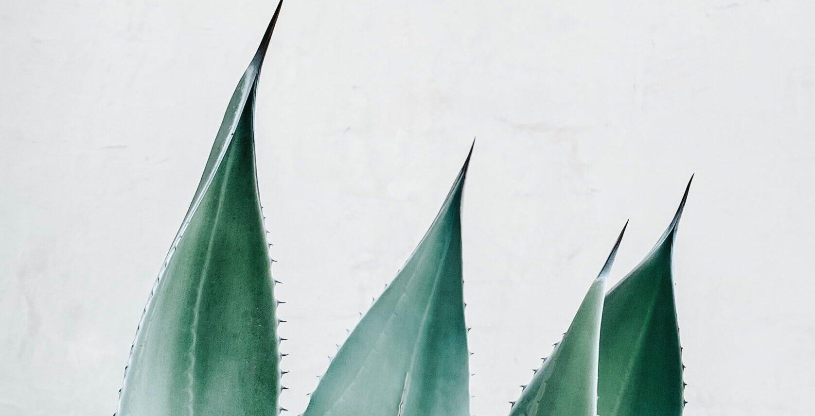 Aloe vera y la depilación láser. Puntas de la planta de aloe.